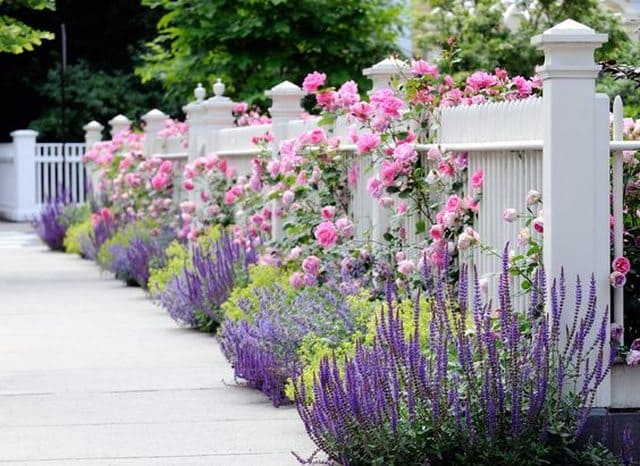 Lavender and Roses by Your Fence