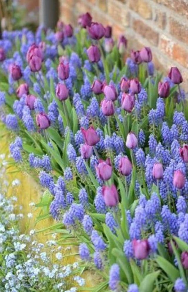 Tulip and Grape Hyacinth