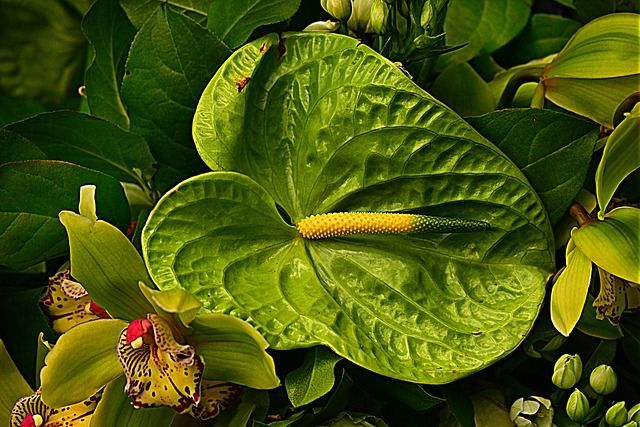 How to Grow & Care for Anthurium Flowers