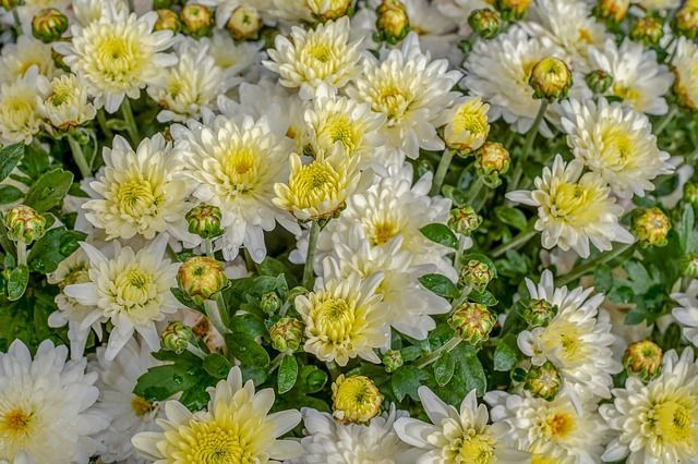 How to Grow & Care for Chrysanthemum Flowers