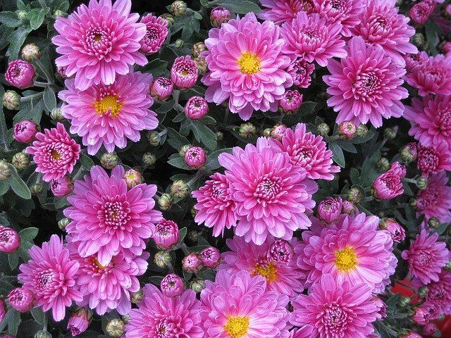 Chrysanthemum Plant Care and Growing Guide
