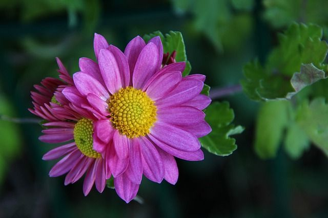 Chrysanthemum Plant Care Guide