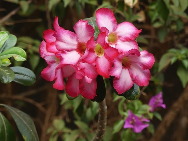 Desert Rose Plant Care and Growing Guide