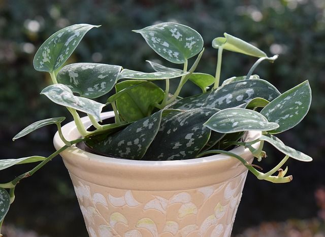 Philodendron Plant Care and Growing Guide