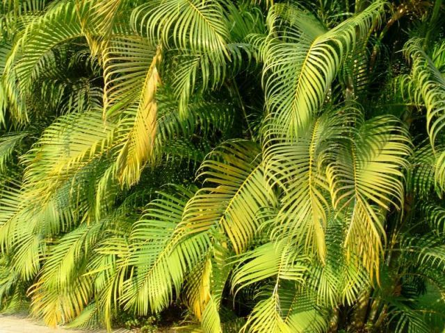 Areca Palm Plant Care and Growing Guide