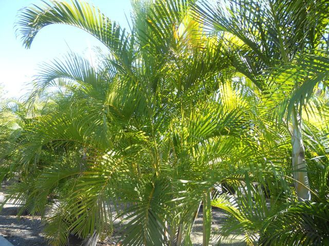 How to Grow & Care for Areca Palm Trees