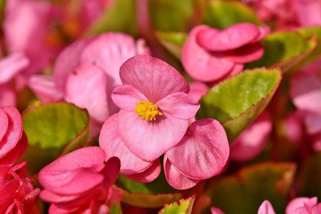 How to Grow & Care for Begonias