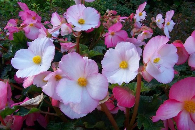 Begonia Plant Care Guide