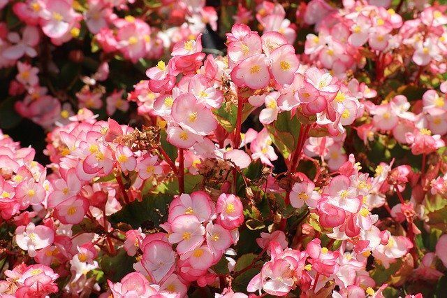 Begonia Plant Care and Growing GuidePlant Care and Growing Guide