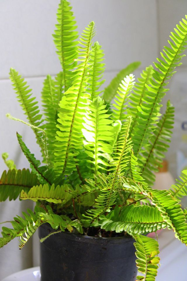 Boston Fern Plant Care and Growing Guide