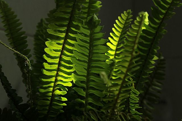 How to Grow & Care for Boston Fern