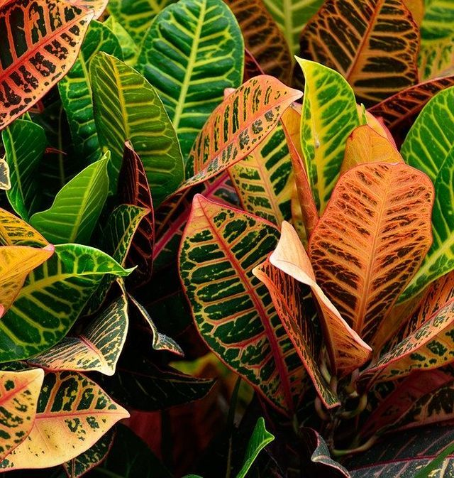 Croton Plant Care and Growing Guide