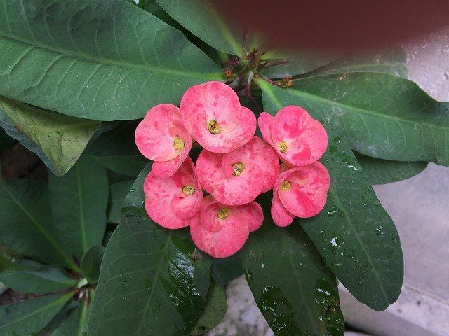 Crown of Thorns Plant Care and Growing Guide