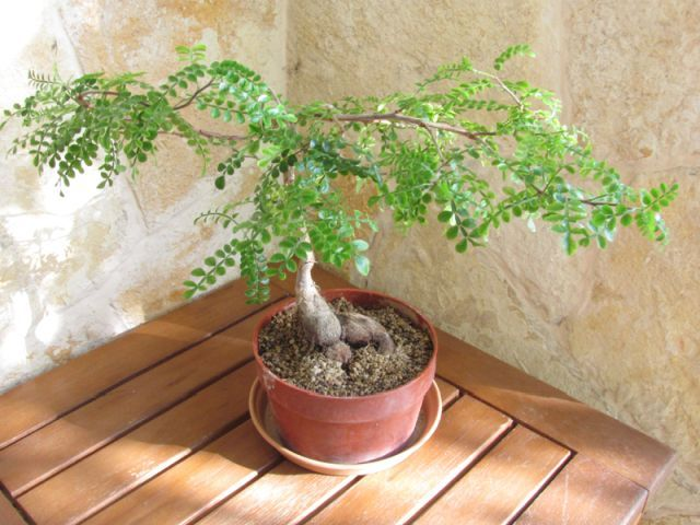 Elephant Tree Plant Care and Growing Guide