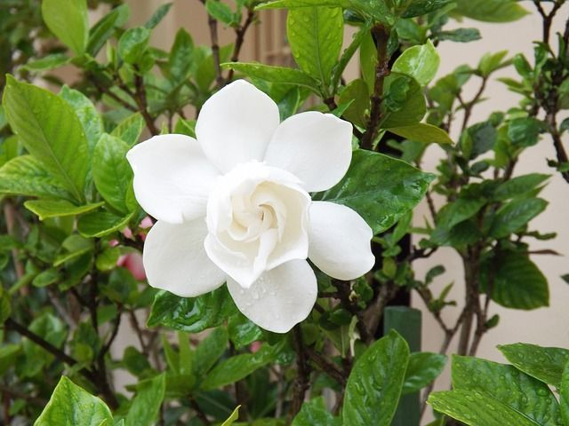 Gardenia Plant Care and Growing Guide