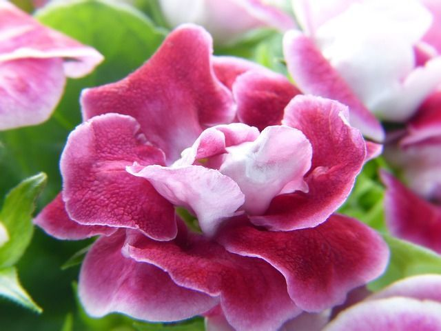 Gloxinia Plant Care and Growing Guide
