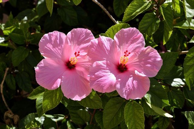 Hibiscus Flowers Care Guide