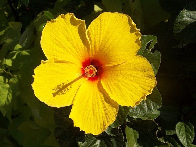 How to Grow & Care for Hibiscus