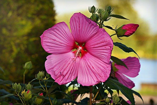 Hibiscus Plant Care and Growing Guide