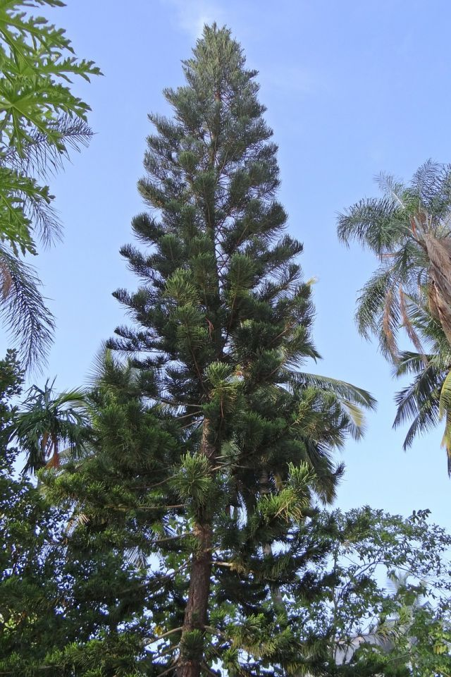 Norfolk Island Pine Tree Plant Care Guide