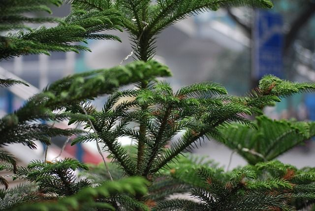 Norfolk Pine Tree Care and Growing Guide