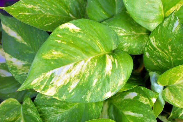 How to Grow & Care for Pothos Plants