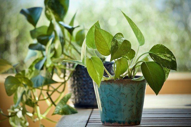 Pothos Plant Care and Growing Guide