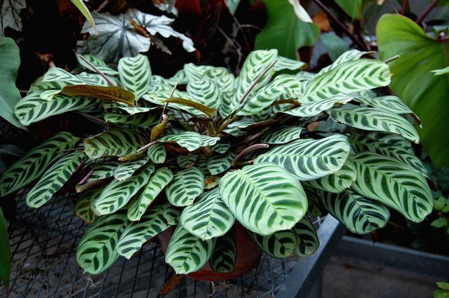 Prayer Plant Care and Growing Guide