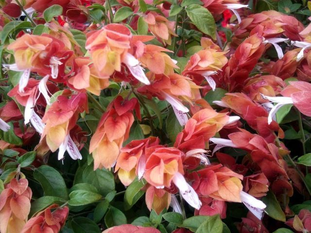 Shrimp Plant Care and Growing Guide