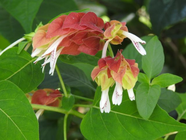 Shrimp Plant Care Guide