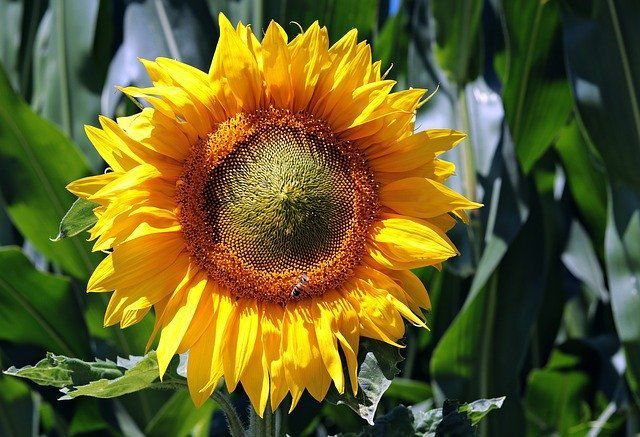 Sunflower Plant Care Guide