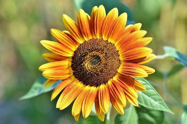 How to Grow & Care for Sunflower