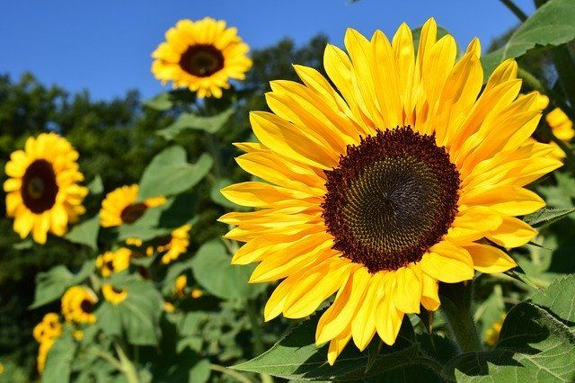 Sunflower Plant Care and Growing Guide