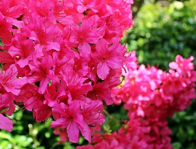 Rhododendron and Azalea