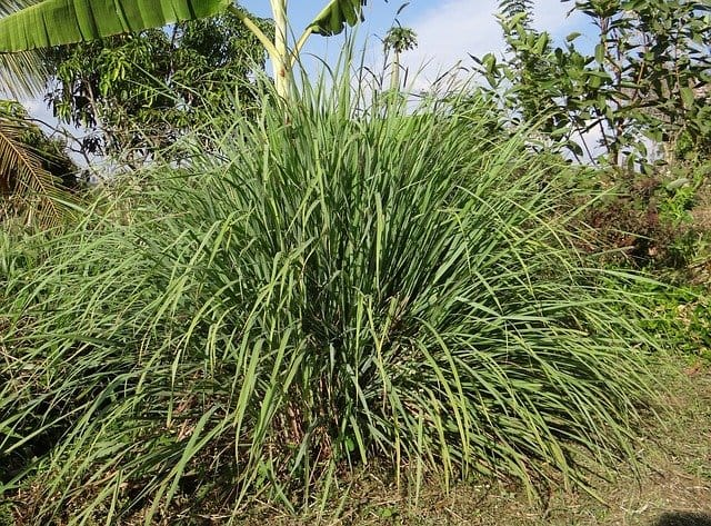 West Indian Lemongrass
