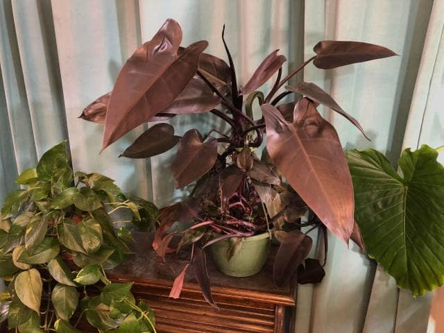 Philodendron Bloody Mary