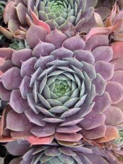 purple Beauty hens-and-chicks