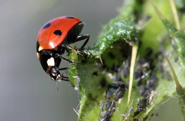 ladybugs for aphids