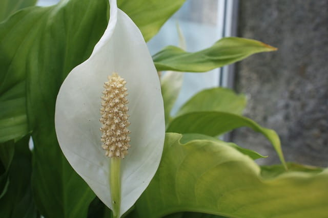 peace lily drooping